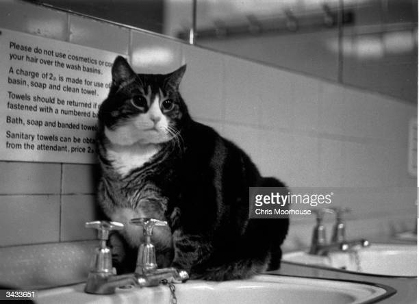 Tiddles the famous fat cat which lived in the public lavatories at Paddington Station London