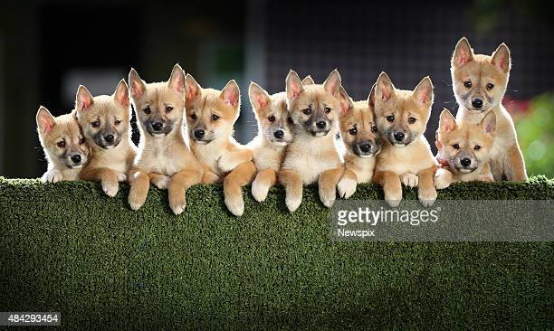 9weekold dingo puppies who are being 'fathered' by resident poodle 'Samson' pose at Jirrahlinga Koala and Wildlife Sanctuary in Barwon Heads Victoria