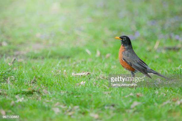 9z6c0744.jpg - american robin stock pictures, royalty-free photos & images