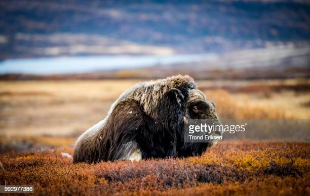 _dsc2879.jpg - musk ox stock photos and pictures