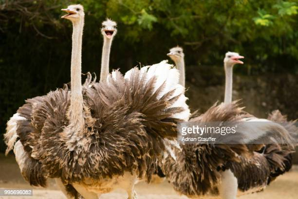 _dsc4968.jpg - ostrich stockfoto's en -beelden
