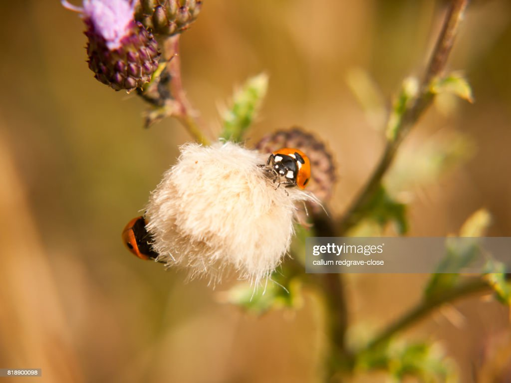 A 7 dot ladybird on top of a small white thistle flower stock photo a 7 dot ladybird on top of a small white thistle flower mightylinksfo