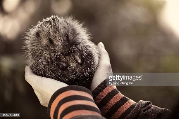 a baby hedgehog been held