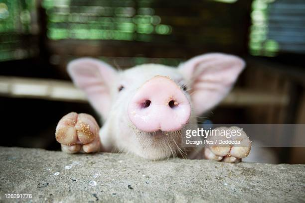 a baby pig in it's pen - pig nose stock pictures, royalty-free photos & images