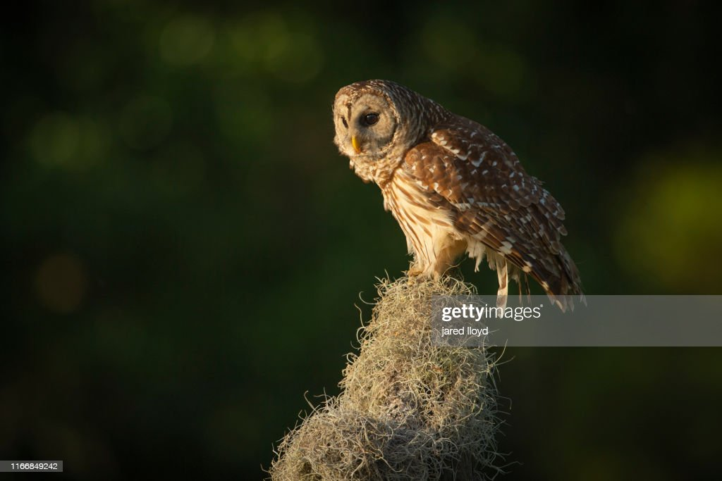 A Barred Owl Sits On Spanish Moss In Fading Light High Res Stock Photo Getty Images