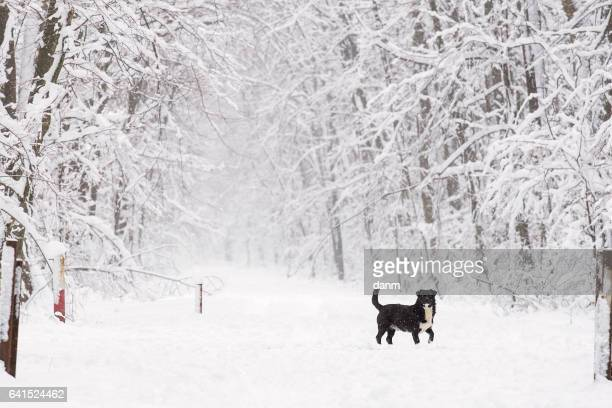 a black dog on the trough the forest in the snow in winter - shiba inu winter stock pictures, royalty-free photos & images
