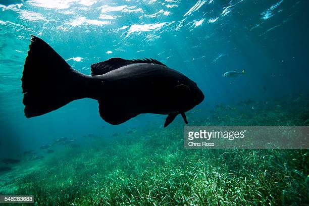 a black sea bass swims above sea grass