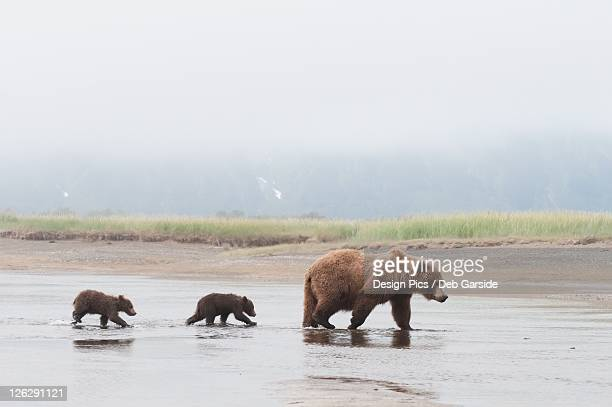 a brown grizzly bear (ursus arctos horribilis) crossing a river with her two cubs