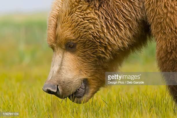 a brown grizzly bear (ursus arctos horribilis)