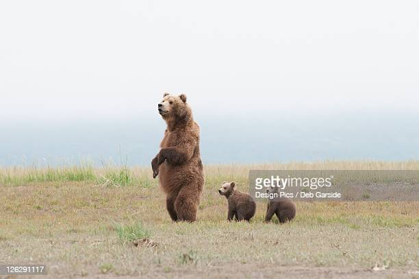 a brown grizzly bear (ursus arctos horribilis) standing up with cubs - big arse stock pictures, royalty-free photos & images