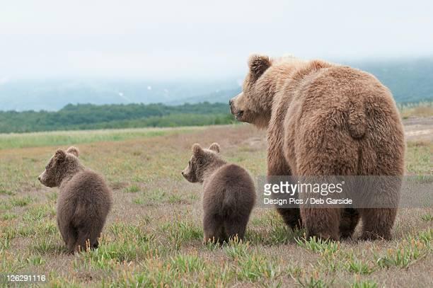 a brown grizzly bear (ursus arctos horribilis) with cubs