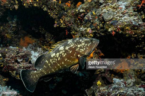a brown grouper one of the emblematic mediterranean species and protected on september 09 2011 in Medes islands Spain The Mediterranean represents a...