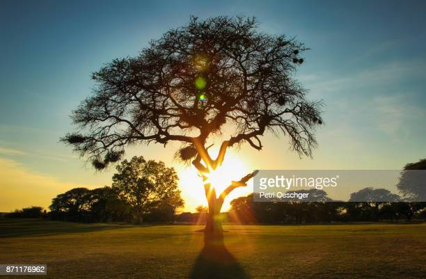 a Camel thorn tree silhouetted by the morning sun.