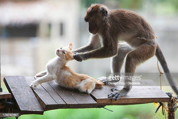 a captive monkey pulls a kitten's ears at a farmer's property near bias city - puss pics stock photos and pictures
