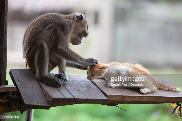 a captured pet monkey grooms a kitten at a farmer's property near bias city