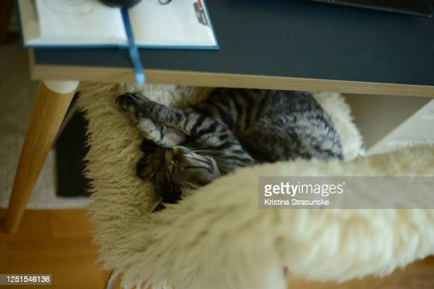 a cat laying down on an home office chair by a writing desk - kristina strasunske stock pictures, royalty-free photos & images