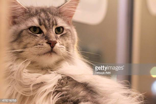 a cat (Maine Coon)