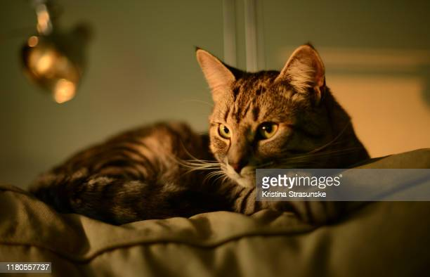 a cat resting on the top of the sofa - kristina strasunske stock photos and pictures