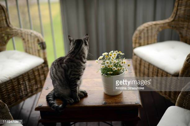 a cat sitting on a table by a potted daisy flower plant - kristina strasunske stock photos and pictures