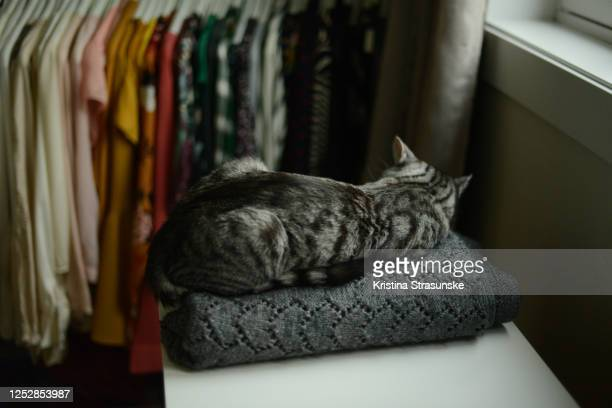 a cat sleeping on a folded knitted grey blanket on a white shelf by a window and a rack of hanging color arrangeg blouses - kristina strasunske stock pictures, royalty-free photos & images