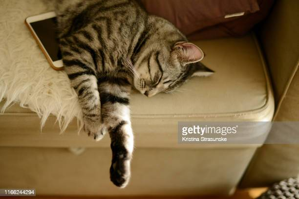 a cat sleeping on a sofa with a cell phone by his side - kristina strasunske stock photos and pictures