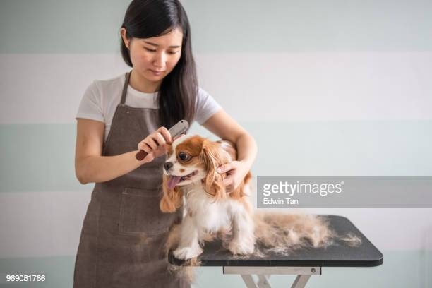 a chinese female dog groomer grooming a cavalier king charles spaniel dog - hairy asian stock pictures, royalty-free photos & images