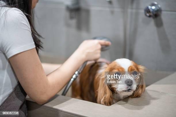 un groomer del perro mujer chino la preparación de un perro Cavalier King Charles Spaniel