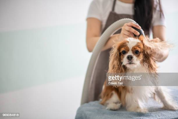 a chinese female dog groomer grooming a cavalier king charles spaniel dog - pet equipment stock pictures, royalty-free photos & images