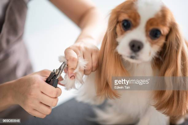 a chinese female dog groomer grooming a cavalier king charles spaniel dog - groom stock pictures, royalty-free photos & images