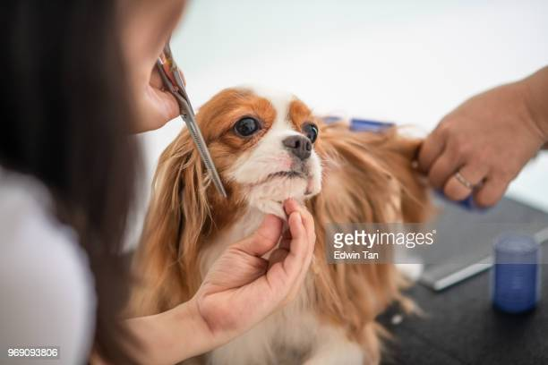 a chinese female dog groomer grooming a cavalier king charles spaniel dog - pet grooming salon stock pictures, royalty-free photos & images