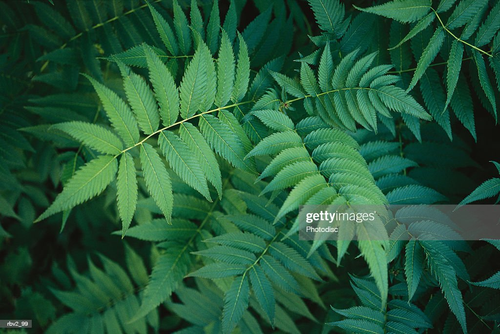 a collection of green leaves branching out from each other : Foto de stock