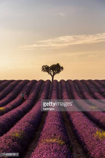 a couple standing in the lavender field at sunset - lavender color ストックフォトと画像