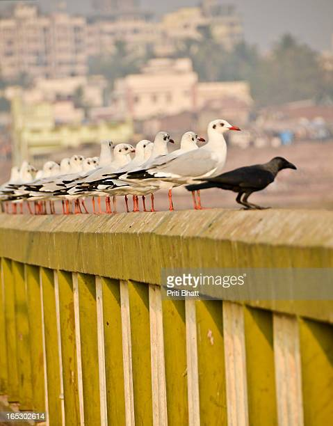 a crow and seagulls