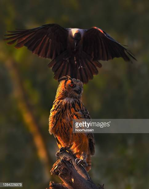 a crow attacking on eagle owl - bubonic plague stock pictures, royalty-free photos & images