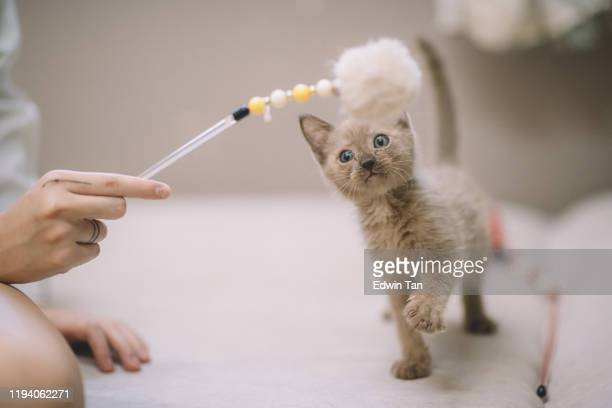 a curious cat kitten looking at the toy stick holding by the owner - shorthair cat stock pictures, royalty-free photos & images