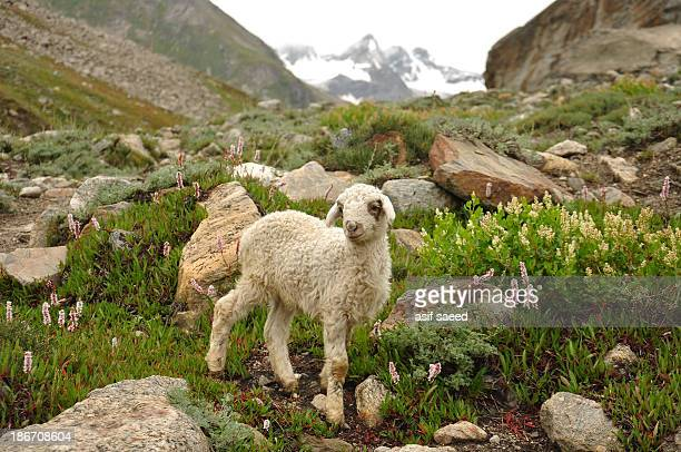 CONTENT] a cute little sheep in mountains of Pakistan