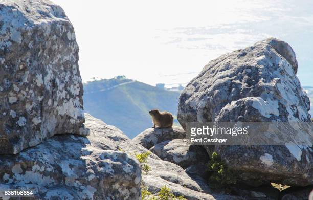 a Dassie baking in the sun on table mountain.