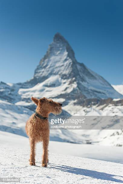 a dog on a snow field with Matterhorn background