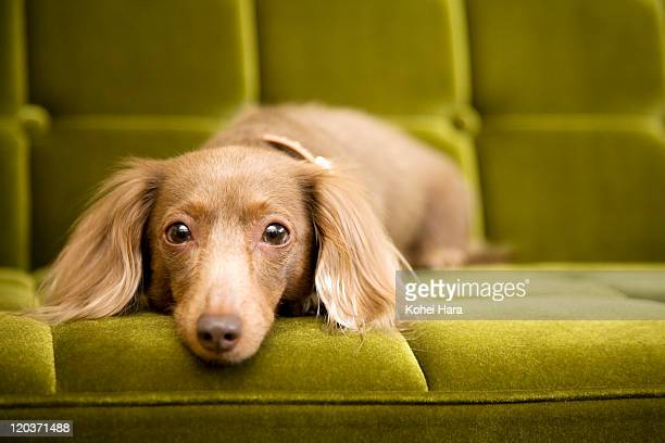 a dog on sofa - dachshund stock pictures, royalty-free photos & images