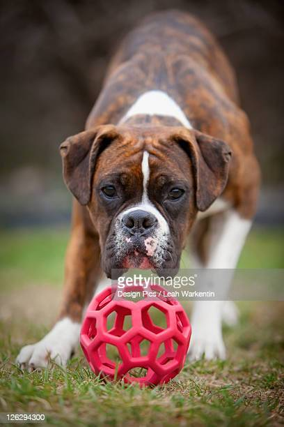a dog playing with a red plastic ball