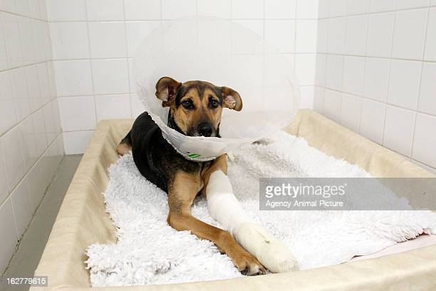 a dog with an injured leg and a ruff in an animal clinic on February 23 2011 in Munich Germany