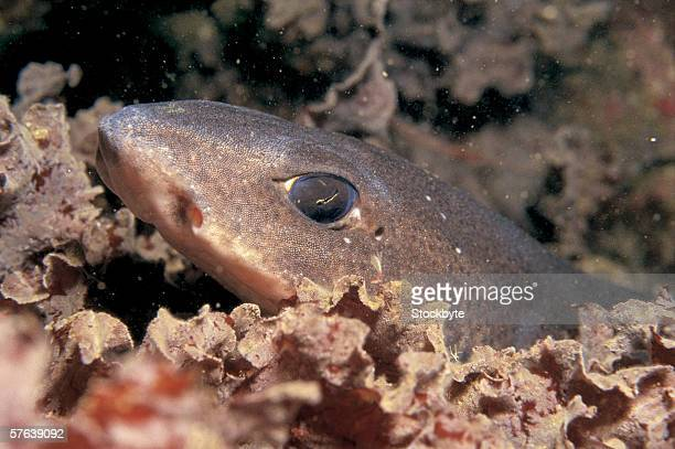 a dogfish in a deep sea - dogfish stock pictures, royalty-free photos & images