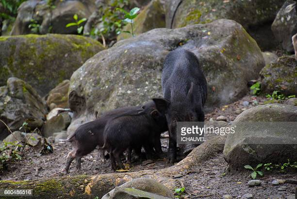 a family pigs philippines - pigs trough stock pictures, royalty-free photos & images