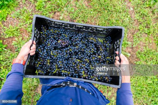 POV of a farmer holding a basket of freshly harvested grapes