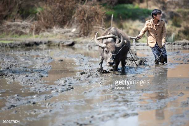 a farmer with water buffalo plowing at a muddy rice terrace field in yuanyang, Yunnan Province in China