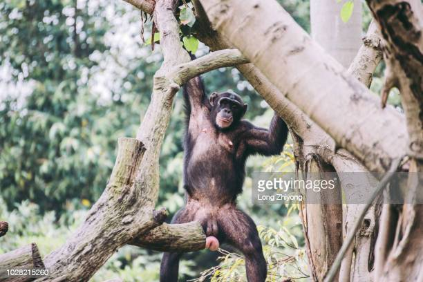 a female chimpanzee is playing - gorilla hand stock photos and pictures