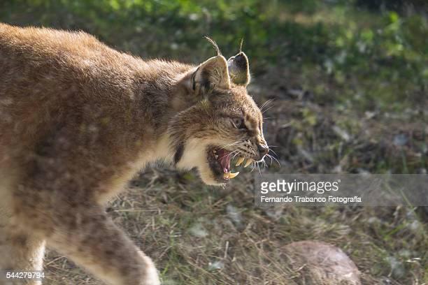a fierce lynx
