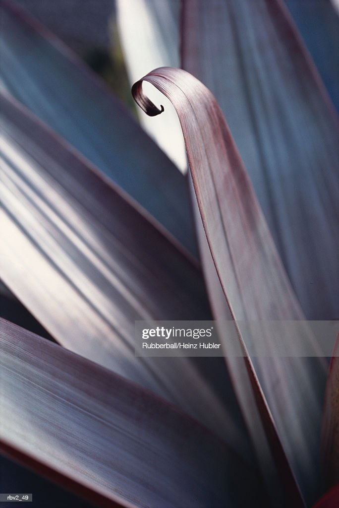 a flower petal begins to curl amongst other petals on a black background : Foto de stock