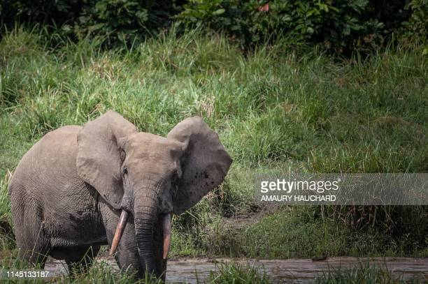 A forest elephant is seen at Langoue Bai in the Ivindo national park, on April 26, 2019 near Makokou - Discovered in 2001, Langoue Bai, a marshy...