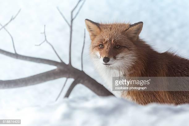 a Fox on a snow field